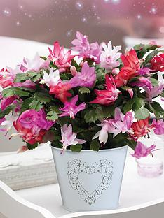 thompson-morgan-christmas-cactus-tri-colour-in-cachepot