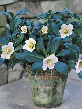 thompson-morgan-hellebore-white-christmas-star-in-terracotta-pot-13cm-pot-x-1