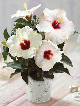 thompson-morgan-hibiscus-adonicus-pearl-in-13cm-pot-x-1