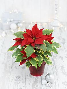 thompson-morgan-poinsettia-variagated-with-red-florettes-in-12cm-pot-x-1
