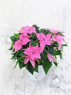 thompson-morgan-princettia-hot-pink-in-13cm-pot-x-1