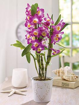 thompson-morgan-orchid-star-class-lilacnbsp-in-12cm-pot-x-1br-br