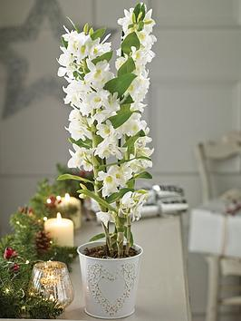 thompson-morgan-orchid-star-class-white-in-12cm-pot-x-1br-br