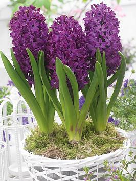 thompson-morgan-scented-hyacinth-purple-woodstock-3-bulbs-in-zinc-pot-x-1