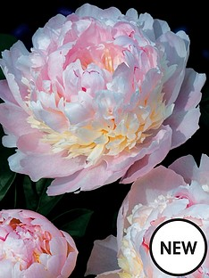 thompson-morgan-paeonia-lactiflora-eden039s-perfume-1-bare-root