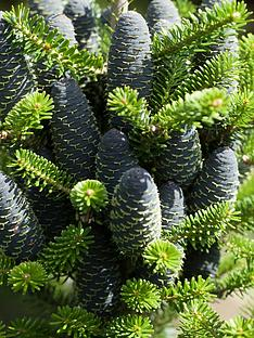 thompson-morgan-koreana-fir-abies-koreana-1-bare-root
