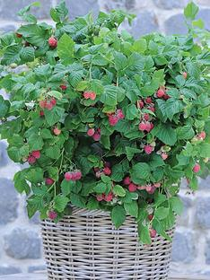 thompson-morgan-raspberry-ruby-beauty-1-3-litre-pot