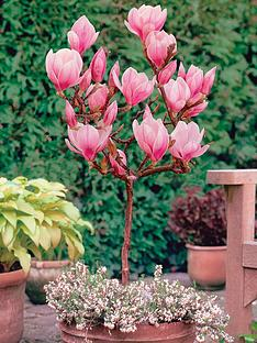 thompson-morgan-magnolia-patio-standard-soulangean-red-lucky-1-bare-root