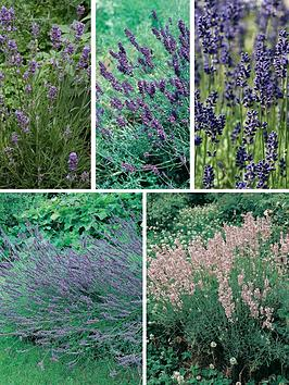 Thompson & Morgan Lavender Collection 10 Plants (Contains 2 Each Of Hidcote Munstead Grosso Twinkle Purple &Amp Rosea)
