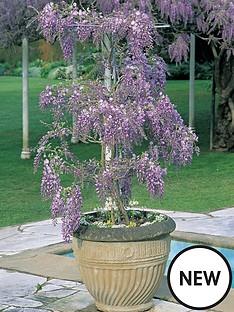 thompson-morgan-wisteria-standard-11cm-pot-x-1