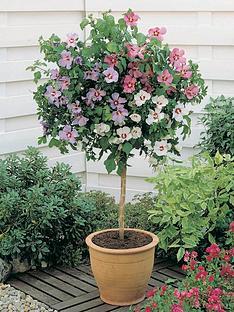 thompson-morgan-hibiscus-standard-tricolour-bare-root-1-x-length-lt1200mm