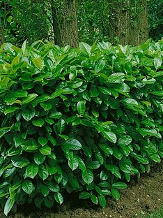 thompson-morgan-prunus-laurocerasus-rotundifolia-35-litre-pot-x-1-hedging
