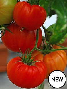 thompson-morgan-tomato-gigantomo-10-postiplugs-3-tomato-growbags