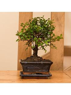 elm-tree-bonsai-5-year-old-with-15cm-ceramic-dish