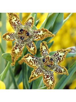 ferraria-crispa-starfish-lily-x2-bulbs
