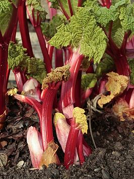 giant-instant-cropping-rhubarb-crown-timperley-early