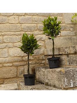 pair-mini-plaited-standard-bay-trees-60cm