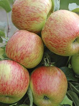apple-braeburn-tree-13m-bare-root