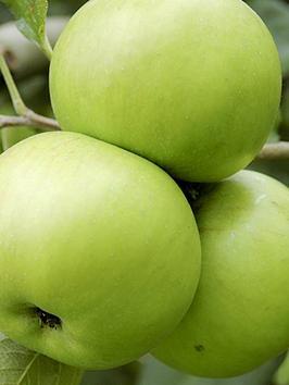 apple-bramley-tree-14m-bare-root