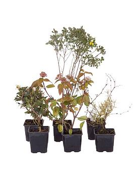 evergreen-shrub-collection-6x9-cm