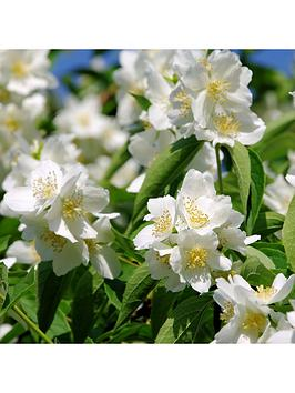 summer-flowering-hardy-shrub-collection-6x-9cm