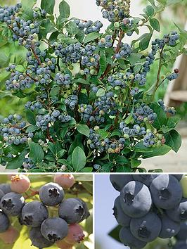 Very Blueberry Collection - Pack Of 3 Varieties Picture