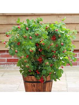 patio-raspberry-ruby-beauty-2l-pot