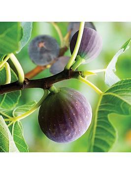 hardy-fig-brown-turkey-plant-2l-pot