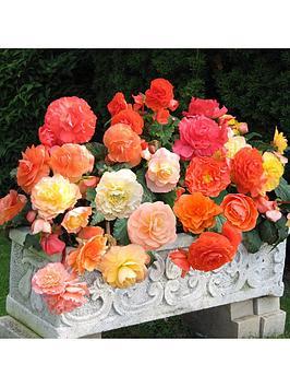 fragrant-trailling-begonia-aromantics-x-20-corms