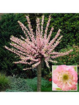 flowering-cherry-almond-tree-1m-bare-root