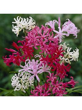 hardy-nerines-20-bulbs-in-4-colours