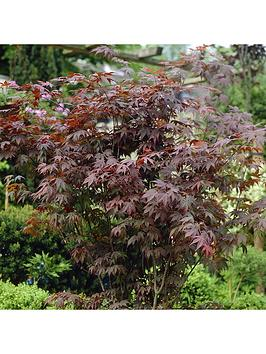 Very  Hardy Acers Collection 3X 10.5Cm