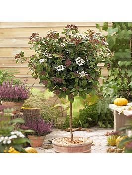 winter-viburnum-tinus-standard-in-flower-90cm-tall