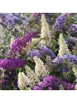 Very  Buddleia Tricolour Plant In 2L Pot