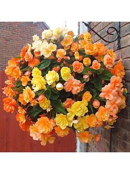 trailling-begonia-apricot-shades-x20-giant-tubers
