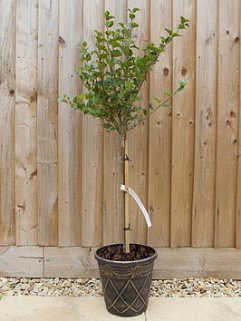 dwarf-lilac-standard-1m-tall-3l-pot