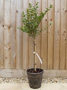 lilac-syringa-palibin-standard-80-100cm-tall