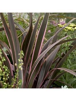 Very Phormium Sundowner Pink 5L Pot Picture