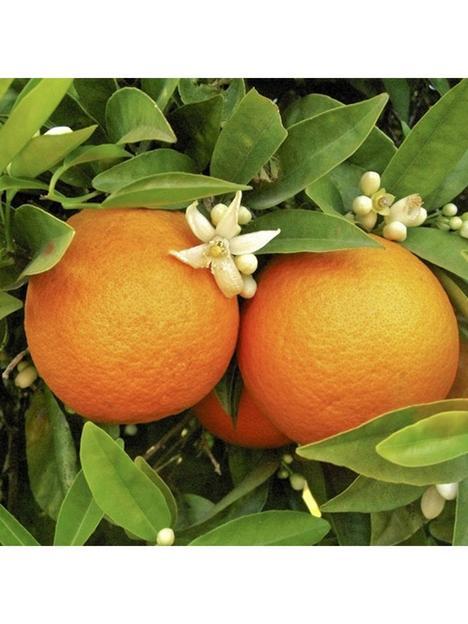 large-orange-tree-in-65l-pot