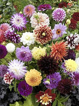 Very Dahlia 'Hybridisers Mix' X 10 Tubers Picture