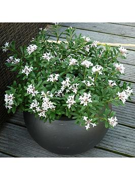 hardy-fragrant-daphne-eternal-fragrance-9cm-pot