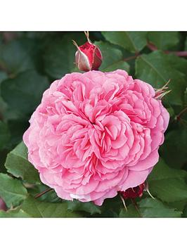 old-english-shrub-rose-collection-x5-bare-root