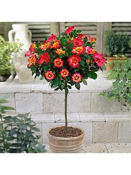 rose-babylon-eyes-half-standard-collection-x-3-plants