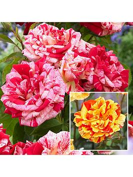 pair-striped-roses-2-bushes