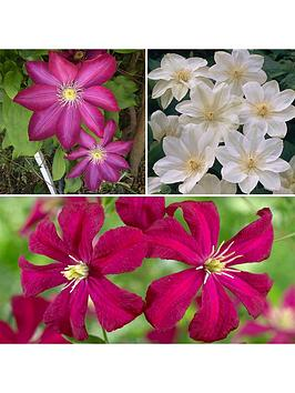 repeat-flowering-clematis-collection-3x-9cm