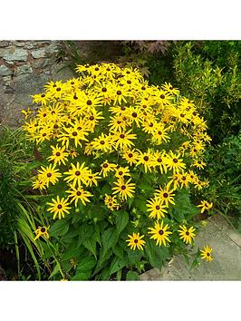 rudbeckia-goldsturm-3-x9cm-plants