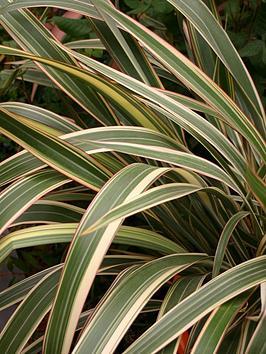 phormium-tenax-variegata-5l-pot-60cm-tall