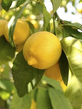 Very  Large Lemon 'Eureka' Tree 6.5L Pot