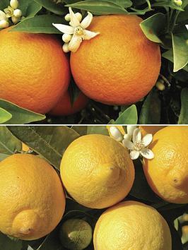 Very Pair Of 1M Orange & Lemon Citrus Trees With Citrus Feed Picture