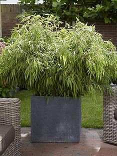 pair-of-fountain-bamboo-fargesia-rufa-2l